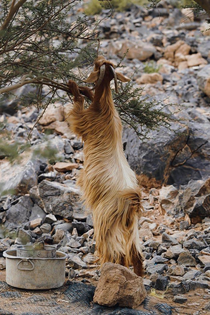 Mountain Goat Eating