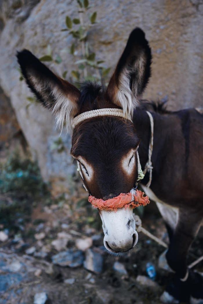 Donkey in Oman